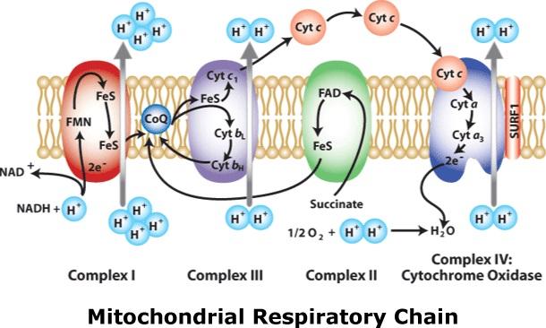 mitochondrial-respiratory-chain