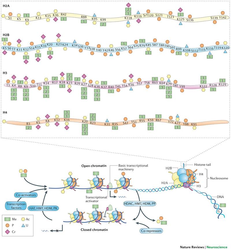 Histone-modification
