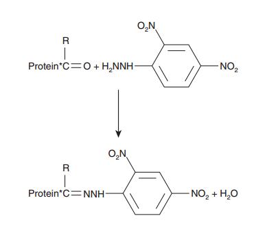 biochemistry of protein cabonyl