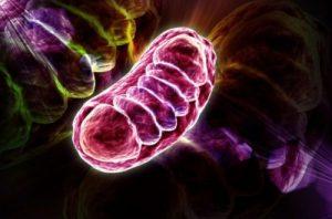 HSP60、线粒体、mitochondria