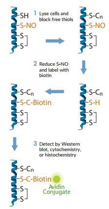 s-nitrosylation-protein