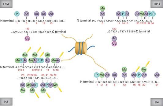 histone-h3-protein-structure
