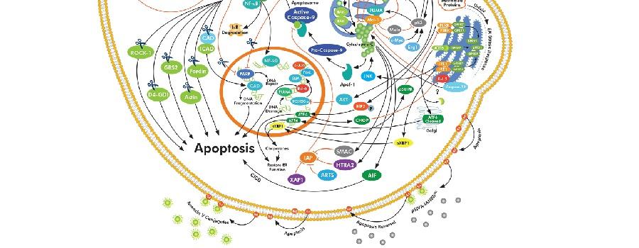 Abbkine皇冠抗体之细胞凋亡篇