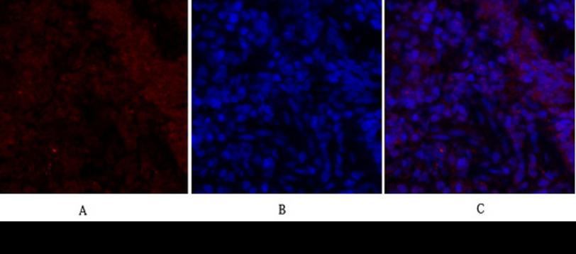 Smad2-antibody-results