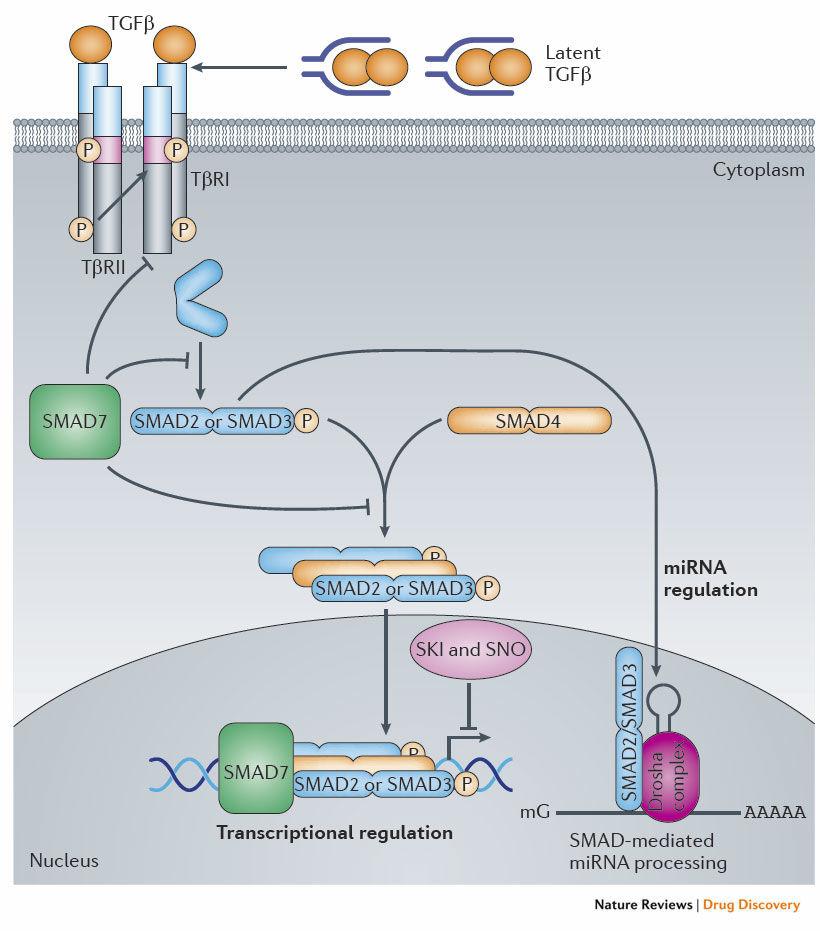 Smad2-antibody