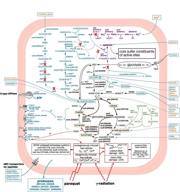 D-Lactate-Metabolic-pathways