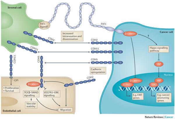 CDH2-pathway