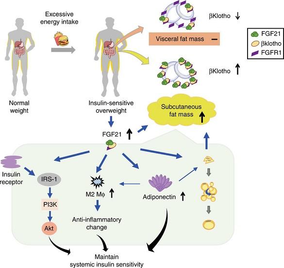 成纤维细胞生长因子21(FGF21)