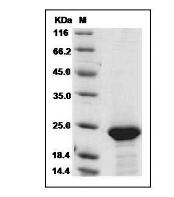 重组蛋白FGF21SDS-PAGE结果展示