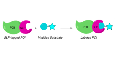 自我标记蛋白SLPs