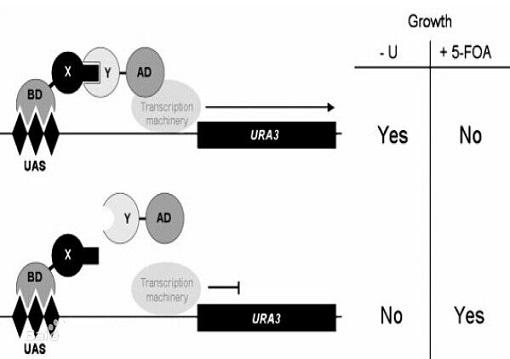 酵母的反向杂交技术