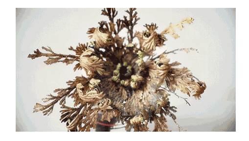 苔藓类茎叶结构图