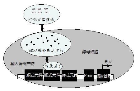酵母单杂交原理示意图