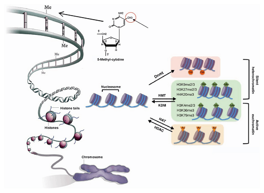 DNA甲基转移酶(DNMTs)