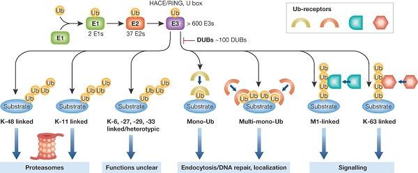 泛素蛋白(Ub)