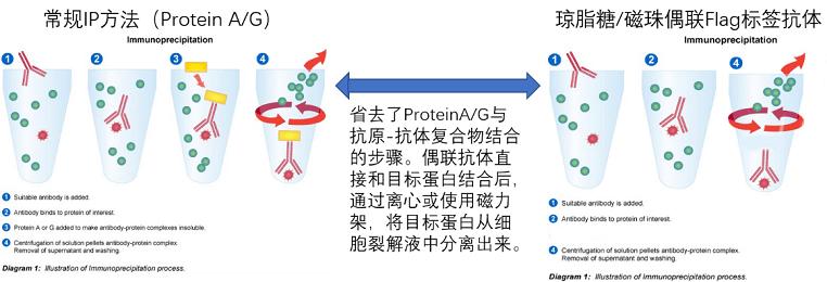 琼脂糖&磁珠偶联的Flag标签抗体