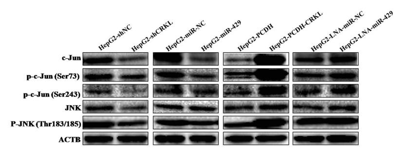 c-Jun抗体 JNK磷酸化抗体
