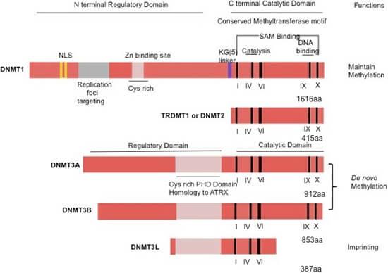 DNMT酶活性分析试剂盒