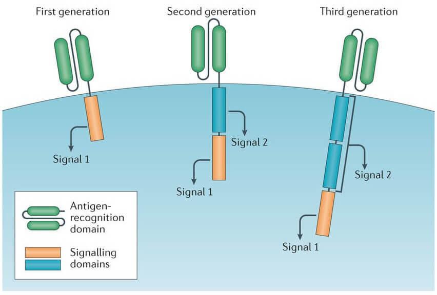 胞内信号转导区
