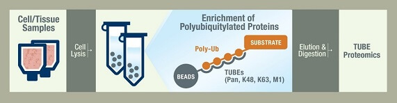 泛素化蛋白富集纯化