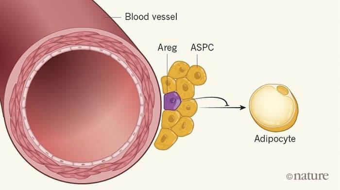 《Nature》:脂肪细胞从何而来