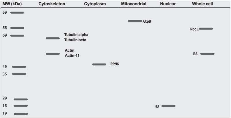 Agrisera植物内参抗体的分子量和表达定位