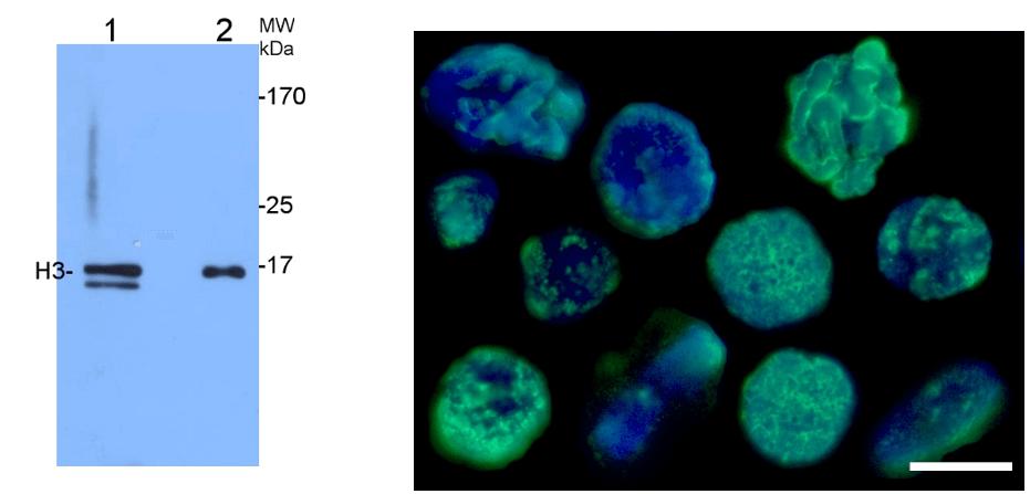 Agrisera组蛋白H3抗体