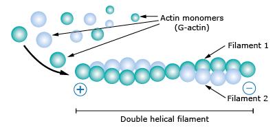 G-actin聚合形成F-actin的过程