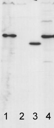 AtpC蛋白研究的ATP合酶抗体