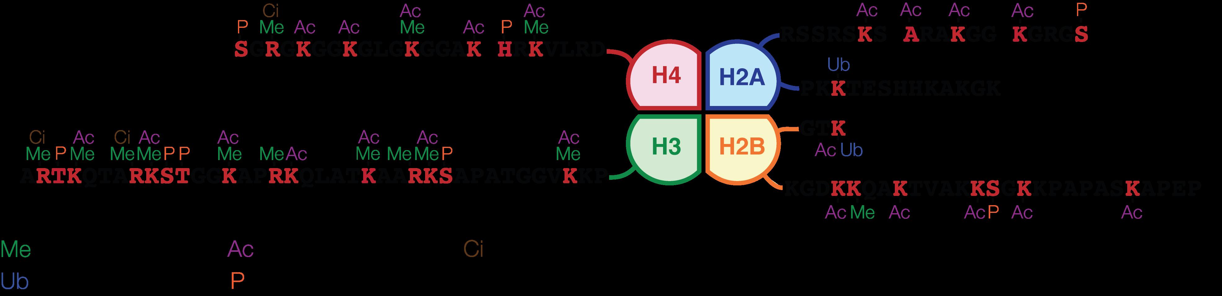 Histone H3蛋白修饰