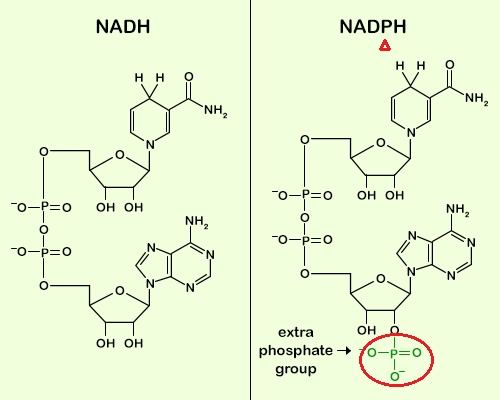 NAD+ NADH NADP+ NADPH