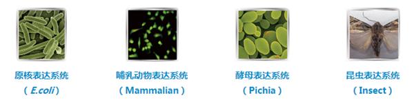重组蛋白,重组蛋白表达系统