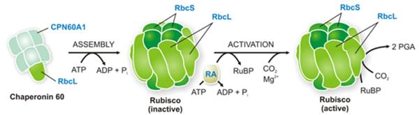 Rubisco催化作用