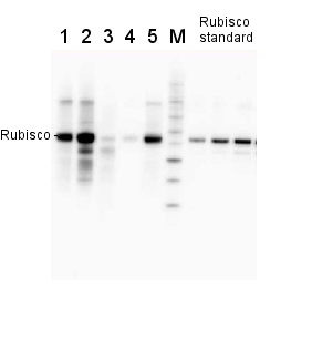 Rubisco抗体应用实例WB结果图