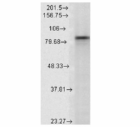 抗Hsp90 alpha单克隆抗体对大鼠裂解液的免疫印迹分析