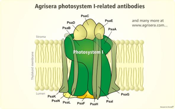 Agrisera光系统I(PSI)的各个蛋白亚基相关抗体