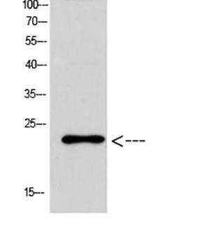 Bax抗体 WB结果图