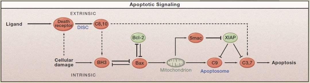 细胞凋亡调控因子Bax
