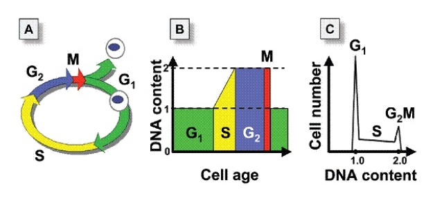 细胞周期染色分析试剂盒:细胞周期与结果解读