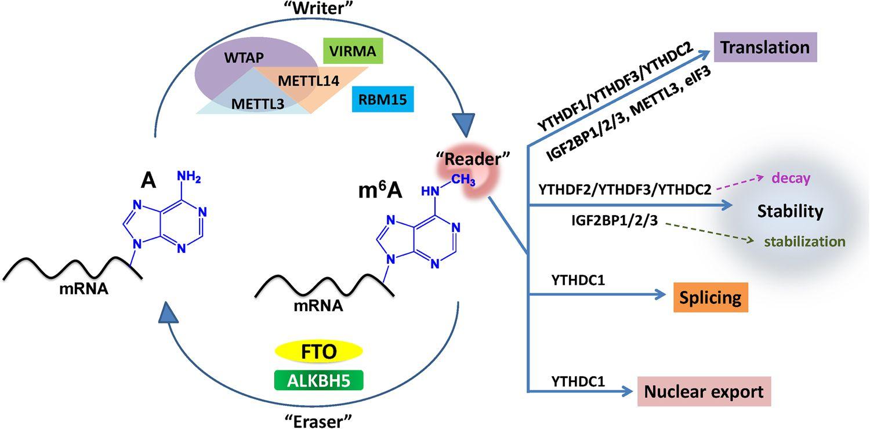 RNA甲基化抗体,m6A抗体