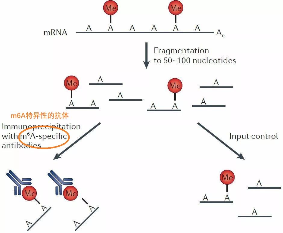 RNA甲基化概述