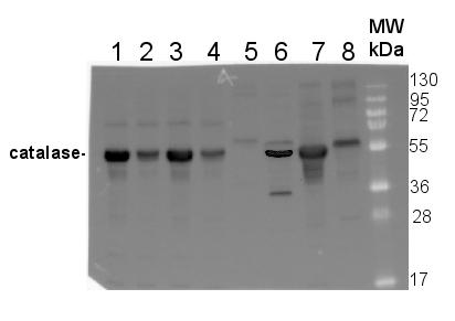 Catalase蛋白