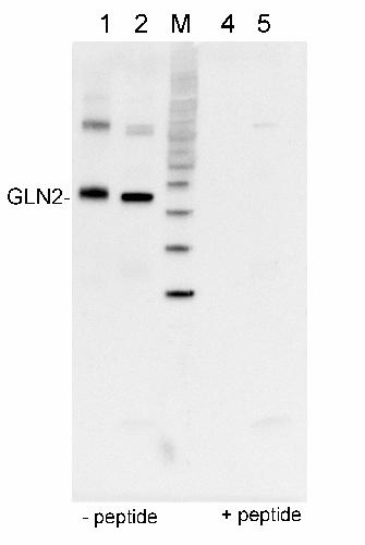 GS2 蛋白