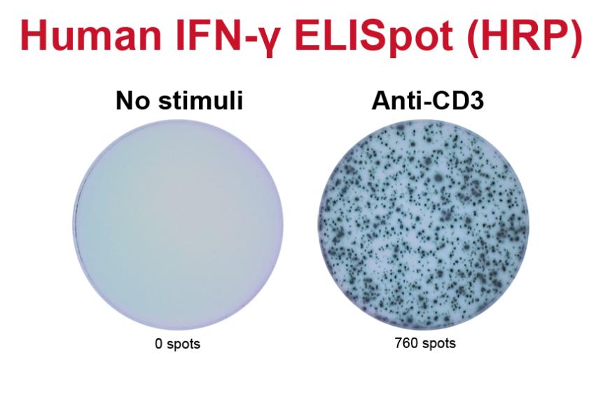 CD3单克隆抗体