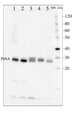 psbA蛋白