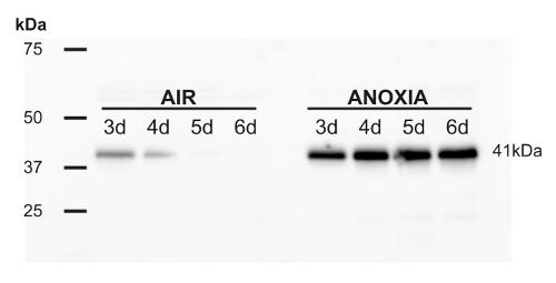 ADH蛋白