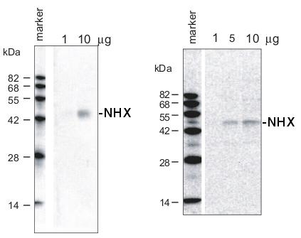 Na+/H+ antiporter蛋白研究的WB结果图