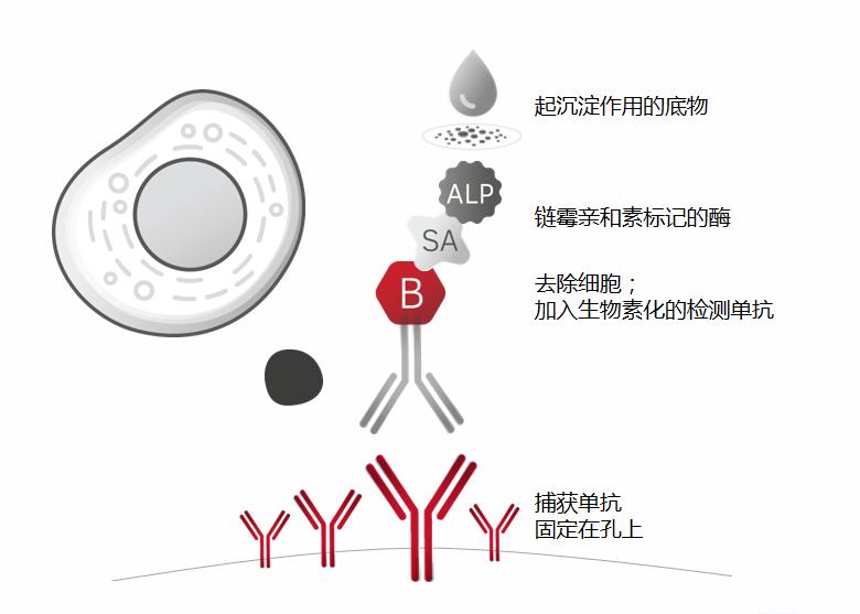 酶联免疫斑点实验