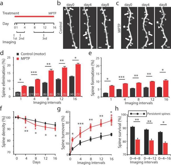 PD小鼠模型中运动皮质脊柱的动态变化