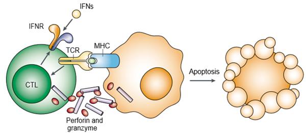 穿孔素蛋白发挥作用的机制